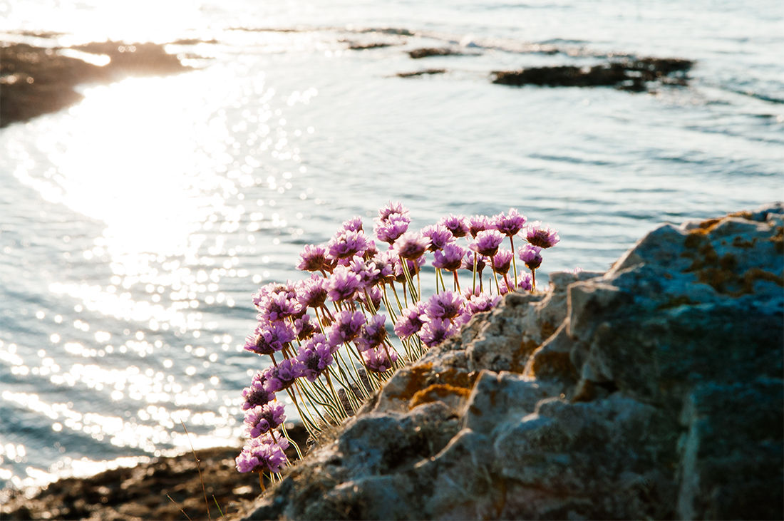 small purple flowers at the Welsh coast