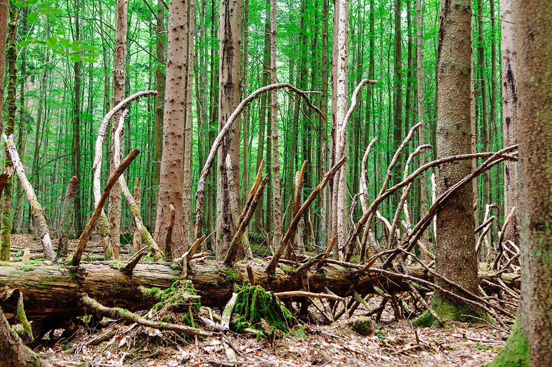 skeleton tree in bavarian national forest