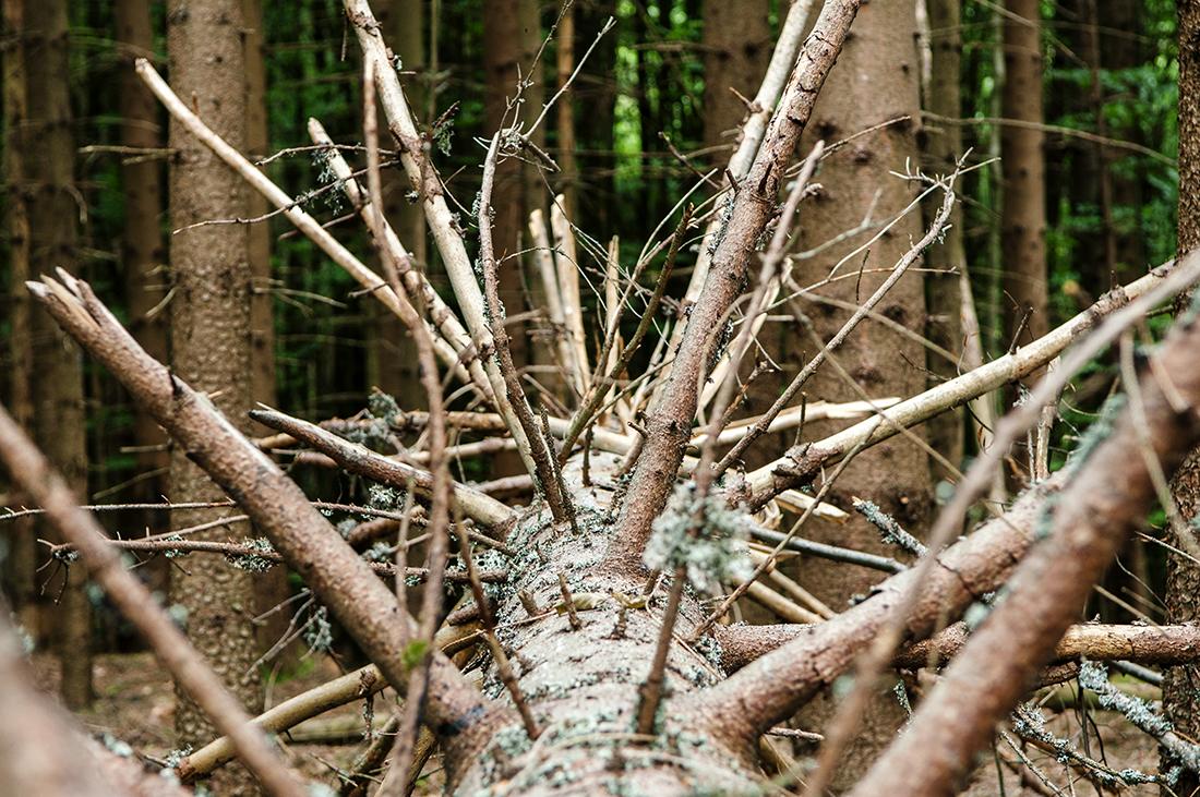 dead tree in bavarian national park