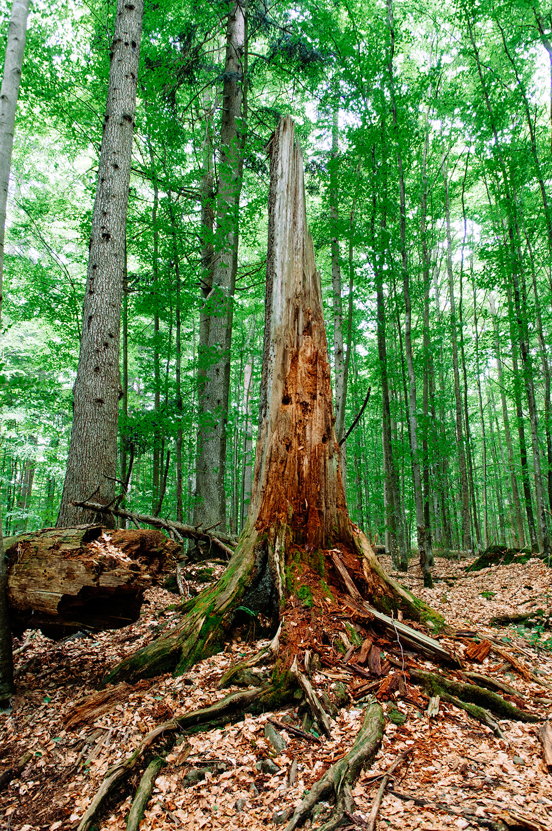 trunk of dead tree in bavarian national forest