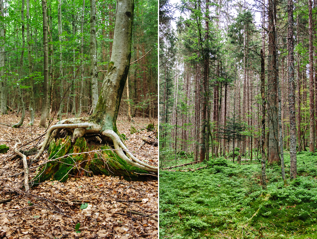 trees in bavarian national forest