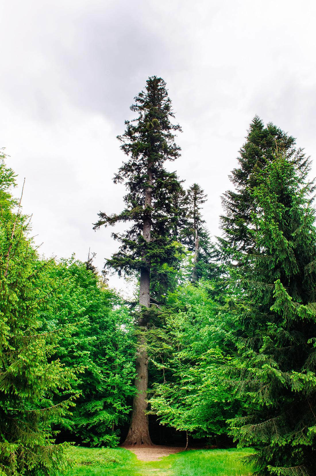 old huge fir in bavarian national forest